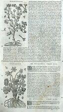 Fumeterre Persefeuille Epipactis Orchidée - Matthioli Matthiole Dioscoride