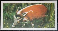 Red River Hog    Wild Pig      Vintage Illustrated Colour Card  VGC