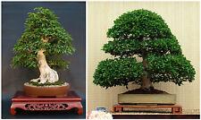 10 graines de Carpinus turczaninowii , Carpino coréenne,  graines bonsaï F
