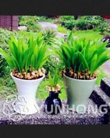 Livistona Chinensis Bonsai 10 PCS Seeds Plants Fountain Palm Tall Tree NEW 2019