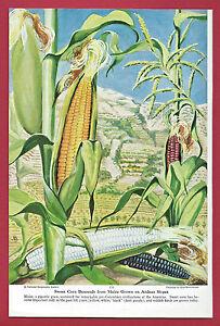 1949 Illustration ~ ELSE BOSTELMANN Vegetables ~ Sweet Corn from Andean Maize