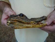 """(G-Def-35) 6-1/8"""" Deformed Gator ALLIGATOR Aligator HEAD teeth TAXIDERMY weird"""