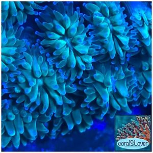 """live coral Green Galaxea Short Tentacle 6+ Heads """"coralSLover"""""""