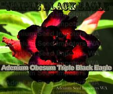 Adenium Obesum (desert rose) Triple Black Eagle, 5 seeds