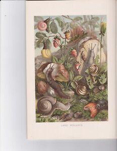 """LAND MOLLUSCS  , snails  Antique Chromolithograph,  5""""x 8"""" image"""