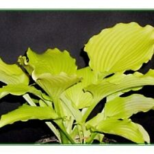 "hosta Dancing Queen medium yellow disease-free 2.5"" pot = 1 Live Potted Plant"