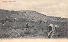 B93503 knocke dans les dunes cow vaches belgium