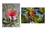 2. Set zwei: Zimmerpflanzen: köstliche Früchte Erdbeerbaum und Ananas - Guave.