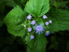 Plant~Perennial Ageratum Ageratina Eupatorium coelestinum~Gallon Pot