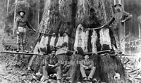 Vintage Redwood Sequoia Logging Photo Big Logs California Cut with axes