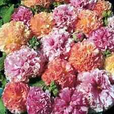 30+  ALCEA DOUBLE HOLLYHOCK FRUITY MIX FLOWER SEEDS  / PERENNIAL