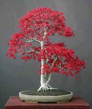 50 Semillas De Árbol De Arce Americano Rojo Profundo Bonsai En Maceta Planta Casa Jardín