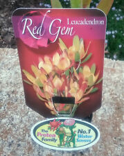 Leucadendron Red Gem in 75mm tube (Leucadendron and Protea) cut flower