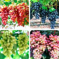 Gold Finger Grape Bonsai Organic Fruit Excellent Quality Garden New 50 PCS Seeds