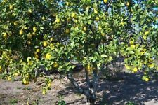 rare Lemon TreeCitrus limon '4 seasons' everbearing 10 fresh seeds