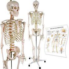 Scheletro Umano Anatomico Anatomia Umana Grandezza Naturale con Grafico in PVC