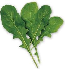 2000 ARUGULA Eruca Vegetable Seeds + Gift & Comb S/H