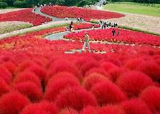 Perennial Grass 300 Pcs Seeds Burning Bush Kochia Scoparia Red Garden Ornamental