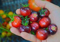 Indigo cherry Tomaten, Schwarze Kirschtomaten seltenes Saatgut