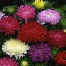 Aster - Peony Duchess- Mixed- 50 Seeds- BOGO 50% off SALE