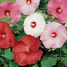 Hibiscus Seeds Disco Belle Mix Hybrid 15 Hibiscus Seeds (Perennial Seeds)