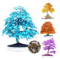 20 Semillas Colorido de arce de árbol semillas Mini Bonsai Plantas Semillas Acer