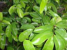 200 Graviola Soursop Leaves Annona Muricata for TEA Guayabano Guanabana USA SHIP