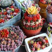 100 * Mini Sukkulenten Kaktus Samen Seltene Mehrjährige Kräuterpflanzen-Hau D5E9