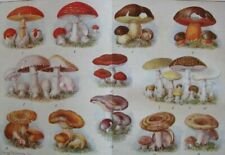 Edible and poisonous mushrooms...Antique Chromolithograph....1908