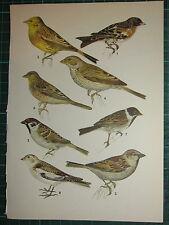 Vintage Natürlich Geschichte Aufdruck ~ Yellowhammer Ree Haus Sparrow Reed