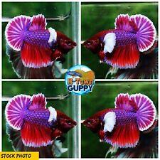 Live Betta Fish High Quality Halfmoon Plakat HMPK Lavender Dumbo