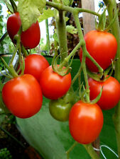 De Berao sehr alte Sorte rote Baumtomate hochwachsend krankheitsresistent