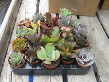 5 x Mixed Succulent Plants (Echeveria/Crassula/Aloe) In 5.5cm Pots