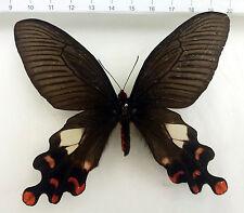 Atrophaneura polyeuctes ssp.polyeuctes Weibc. aus  Assam, Nord-Indien n485