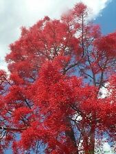 ILLAWARRA/QLD FLAME TREE,10 Seeds,Brachychiton acerifolius,Bush Tucker,Native