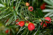 EUROPÄISCHE EIBE 100 Samen Taxus Baccata