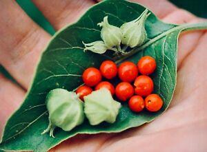 Withania somnifera - Ashwagandha - Indian Ginseng - Fresh 30 seeds