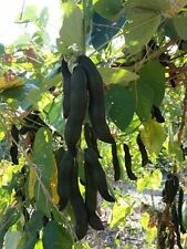 New Seeds Black Kauch Seeds,Mucuna Pruriens Seed 6 Seeds From Thailand