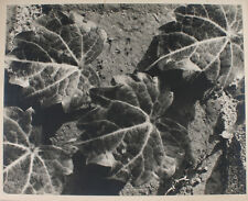 BEAUTIFUL 15X19 ALBUMEN PHOTO CLOSE UP OF IVY LEAVES BY ROMIG OF PITTSBURGH, PA