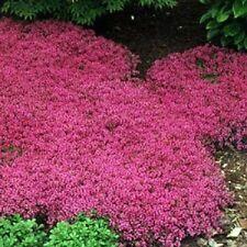 Creeping Thyme Pink Magic Carpet Flower Seeds/Perennial 50+