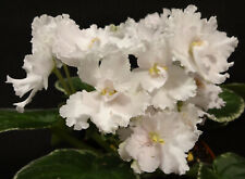 African violet Ma's Pillow Talk live plant in pot