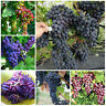 Grape Bonsai Dwarf Seeds Plants Tree Perennial Fruit Potted As Indoor 100pcs
