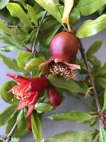 8 Wonderful Pomegranate Cutting From Mature Plant. Free US  Shipping