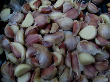 """Chesnok Wight""  Garlic seed cloves for giant bulbs huge sweet & mild 20 cloves"