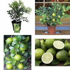 "Key Lime Tree Pot 8"" Fruiting Size/Branched Plant Make Outdoor Garden Best Gift"