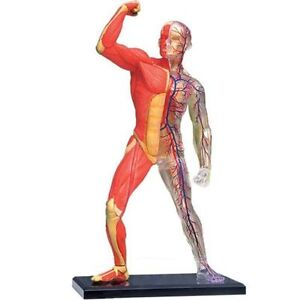EXPLORE YOUR BODY BIOLOGY BIOLOGICAL HUMAN SKELETON & MUSCLE MODEL 44-0099