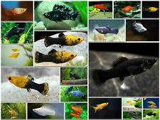 Assorted Molly Live Tropical Freshwater Aquarium Fish Tank Mollies