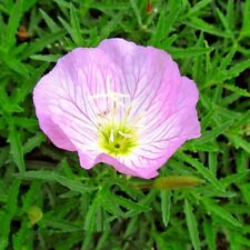 Flower Seeds Oenothera speciosa Fragrant pink. Creeping from Ukraine