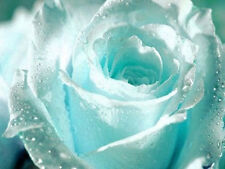 Elegant Sky Blue 60 Rose Flower Seeds Yard Garden Bulbs Outdoor Plants Hot Sales