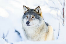 BEAUTIFUL WOLF CANVAS PICTURE #6 STUNNING PHOTOGRAPHY A1 CANVAS FREE P&P